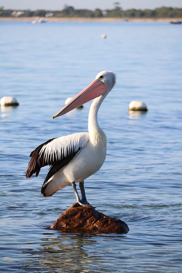 Pelican On A Rock Photograph