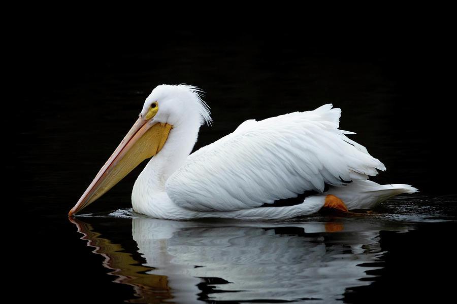 Pelican Photograph - Pelican On Cross Lake by Dot Rambin