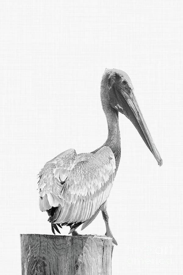 Pelican Perching Photograph