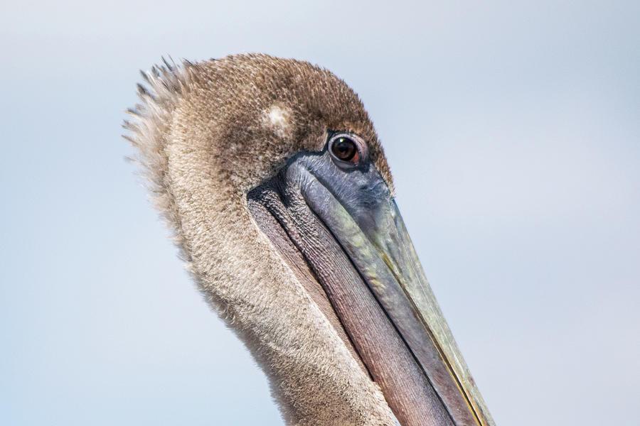 Pelican Stare Photograph