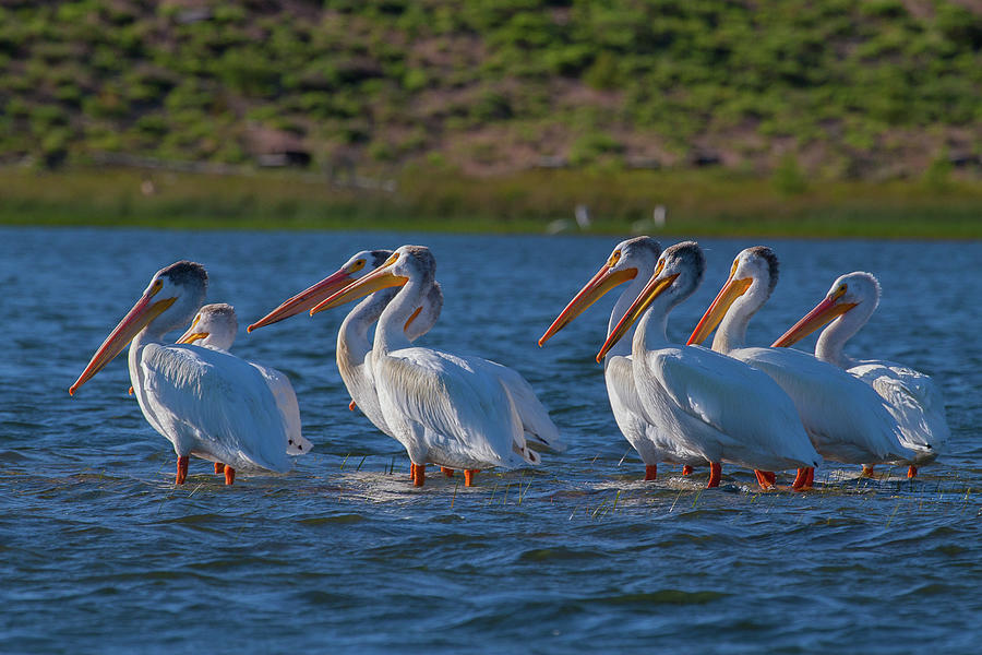 White Pelicans In Warm Light Photograph