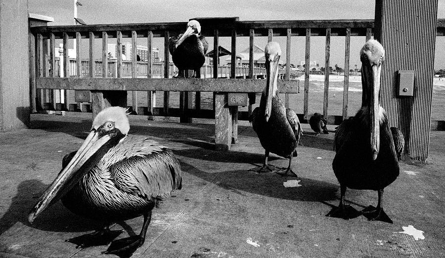 Pelicans Waiting At Pier 60 Photograph