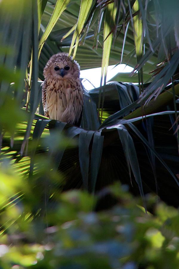 Pels Fishing Owl Photograph