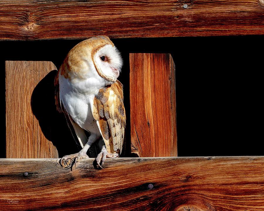 Pensive Barn Owl by Judi Dressler