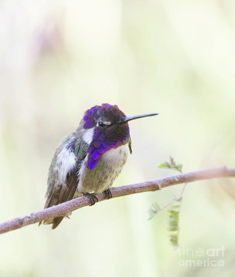 Perched Costas Hummingbird Photograph