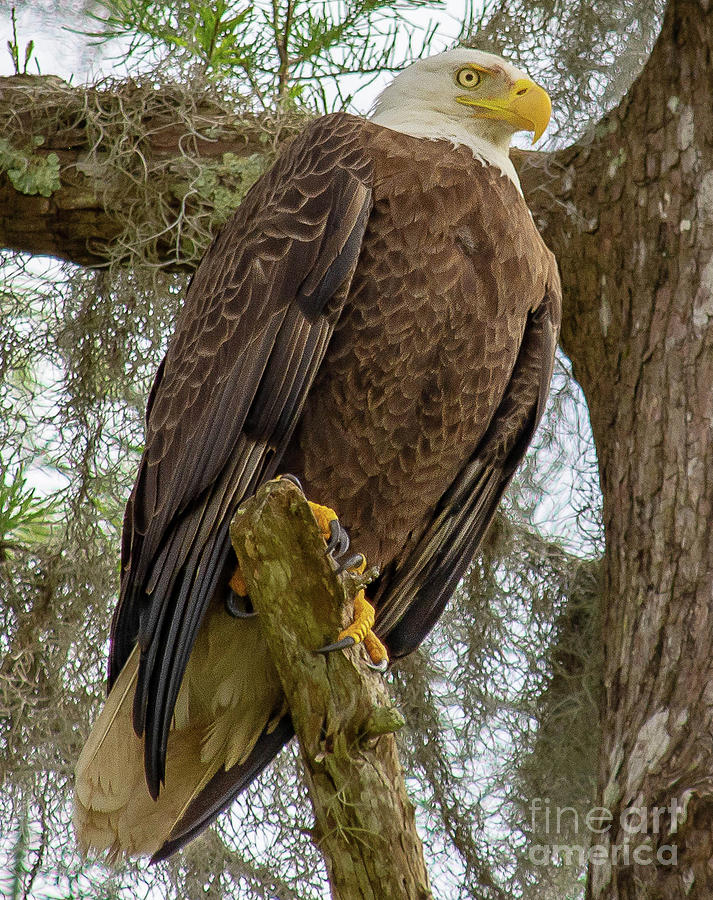 Perched Eagle by Barry Bohn