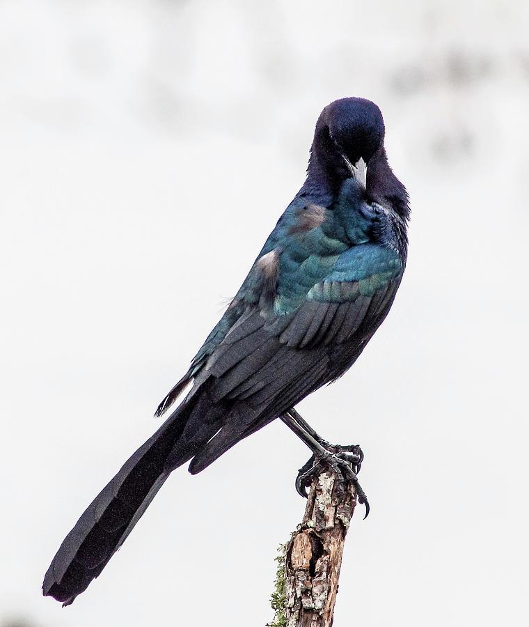 Perched Male Grackle Photograph