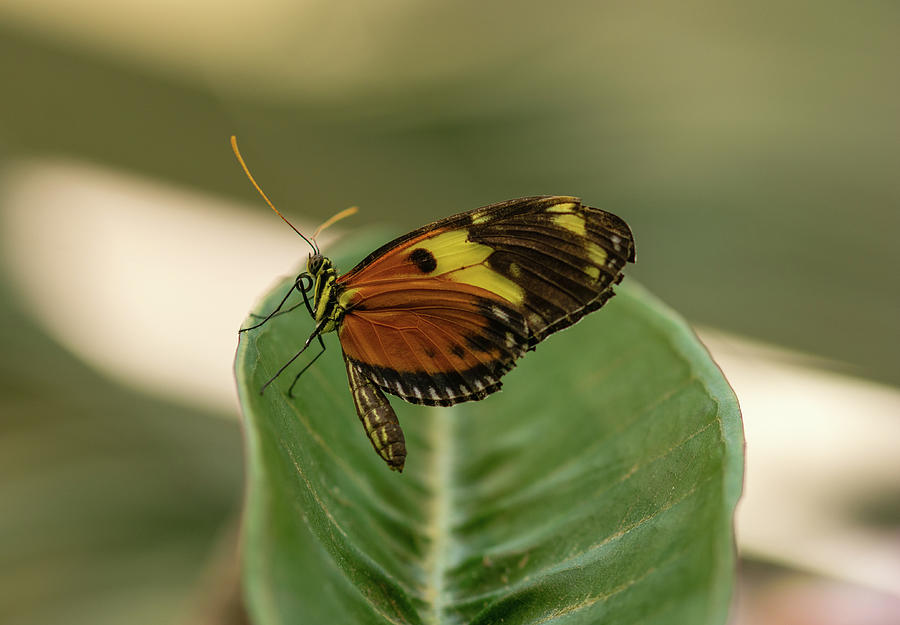 Perched Tiger Longwing Photograph