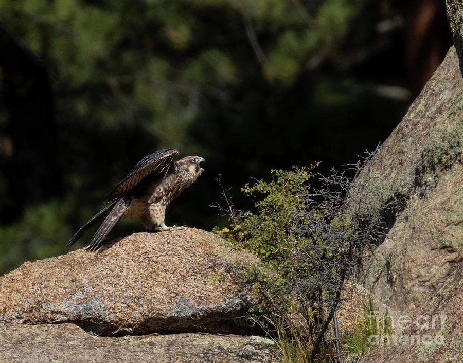 Peregrine Falcon On A Rock Photograph
