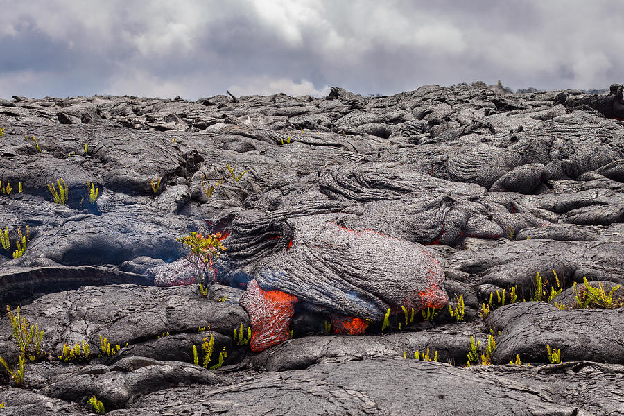 Perfect Ohia Lehua flower defies lava Photograph by Tyler Hulett