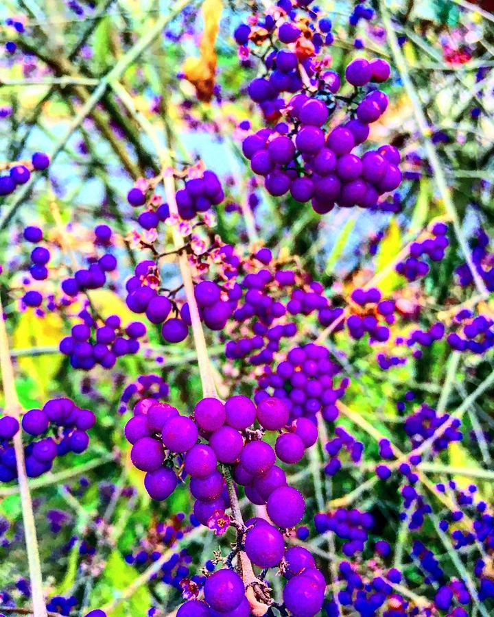 Perfect Purple Berries by Michael Oceanofwisdom Bidwell