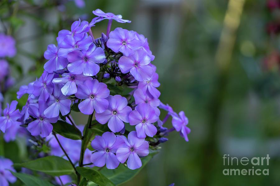 Perfect Purple Phlox Photograph