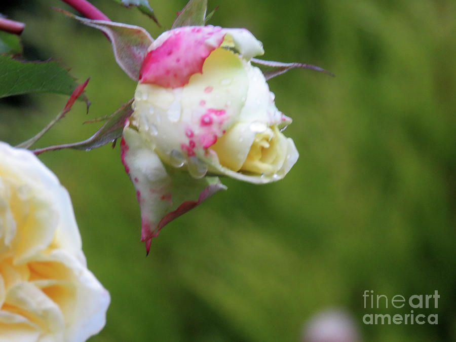 Rose Photograph - Perfection by Mary Mikawoz