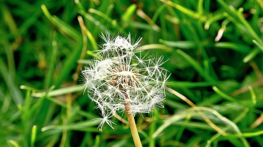 Perseverance Of Dandelion Photograph