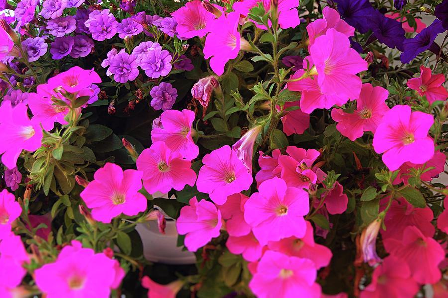 Petunias Photograph
