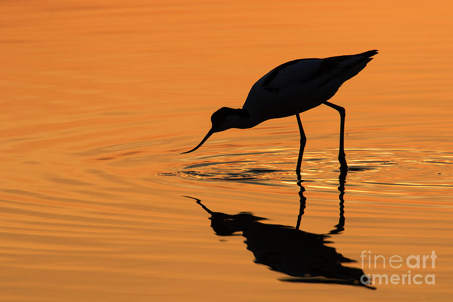Pied Avocet at Sunset by Arterra Picture Library