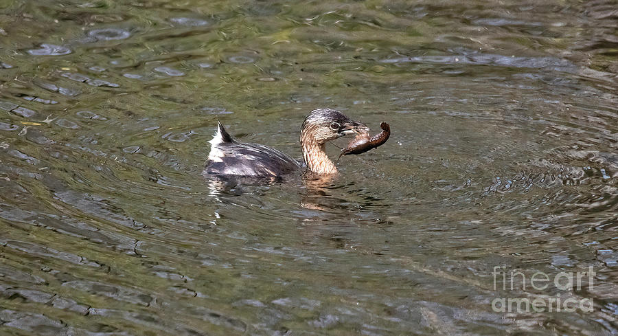 Pied-billed Grebe Photograph - Pied-billed Grebe And Its Crayfish Meal by Felix Lai