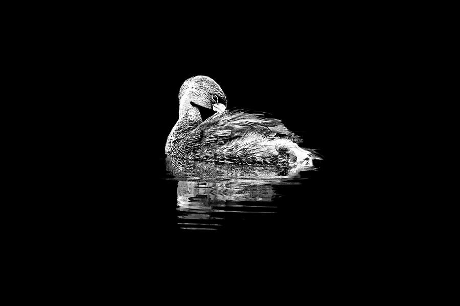 Pied-billed Grebe in BW by Perla Copernik