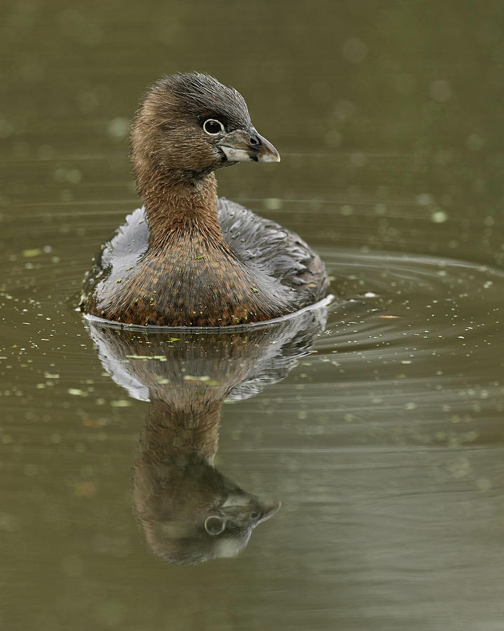 Pied-billed Grebe, Sacramento County California by Doug Herr