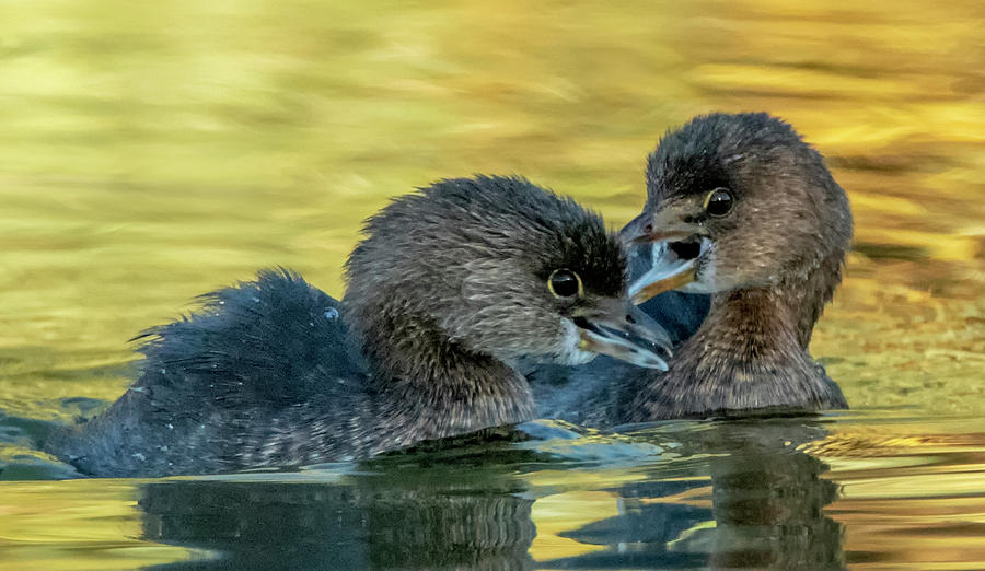 Pied-billed Grebes 4936-111119-3 by Tam Ryan