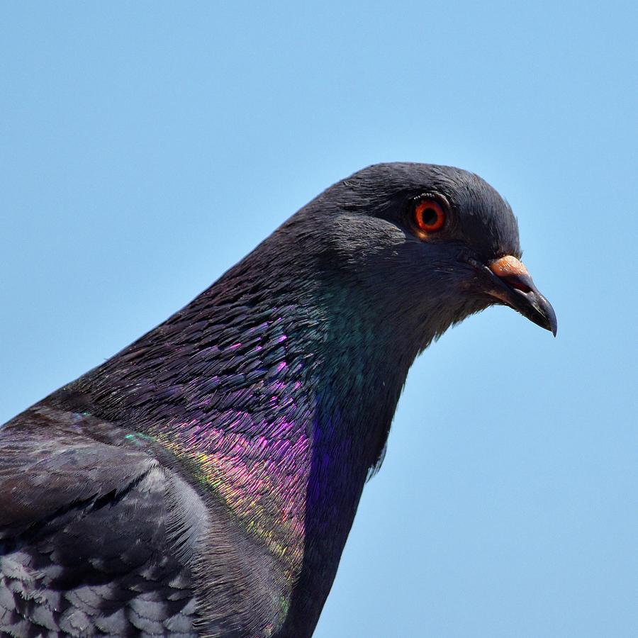 Pigeon Portrait Squared Photograph