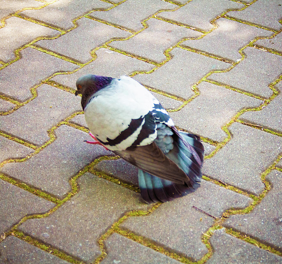 Pigeon Walking Heavy Looking Like Is Having A Lot On The Mind Photograph