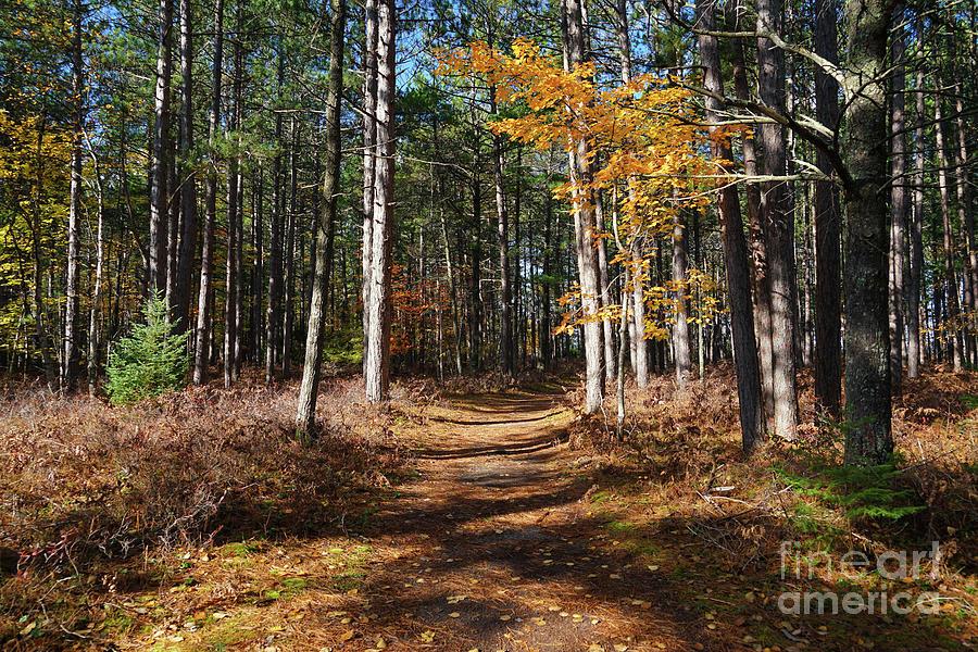 Pine Forest Walk In Autumn Photograph
