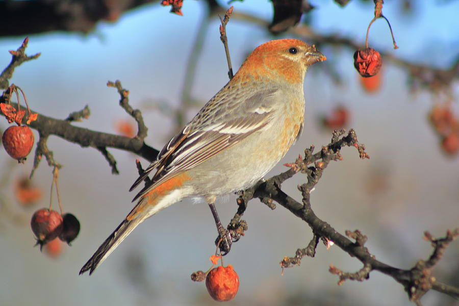 Pine Grosbeak Female In Fruit Tree Photograph