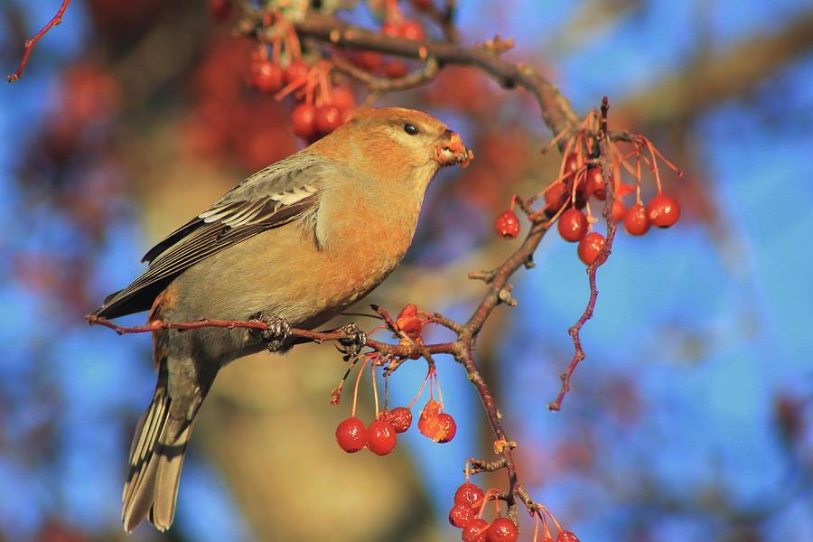 Pine Grosbeak Photograph
