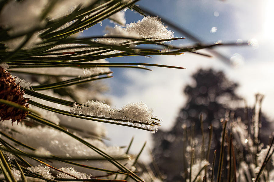 Pine Needles in the Snow by Kevin Schwalbe