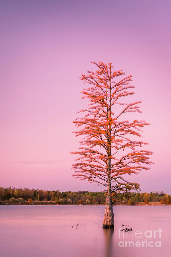 Pine tree at Sunset by Ranjay Mitra
