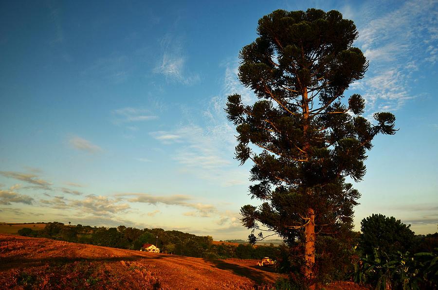 Pine tree farm Brazil Photograph by Flavio ConceiÇÃo Fotos