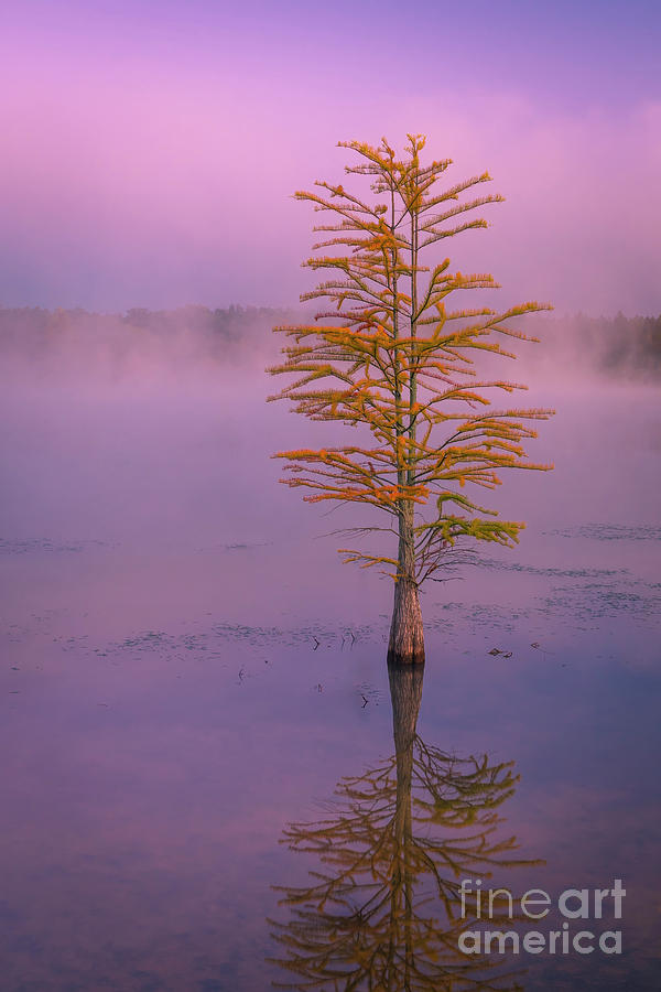 Pine Tree in Mist and Fog at Sunrise by Ranjay Mitra