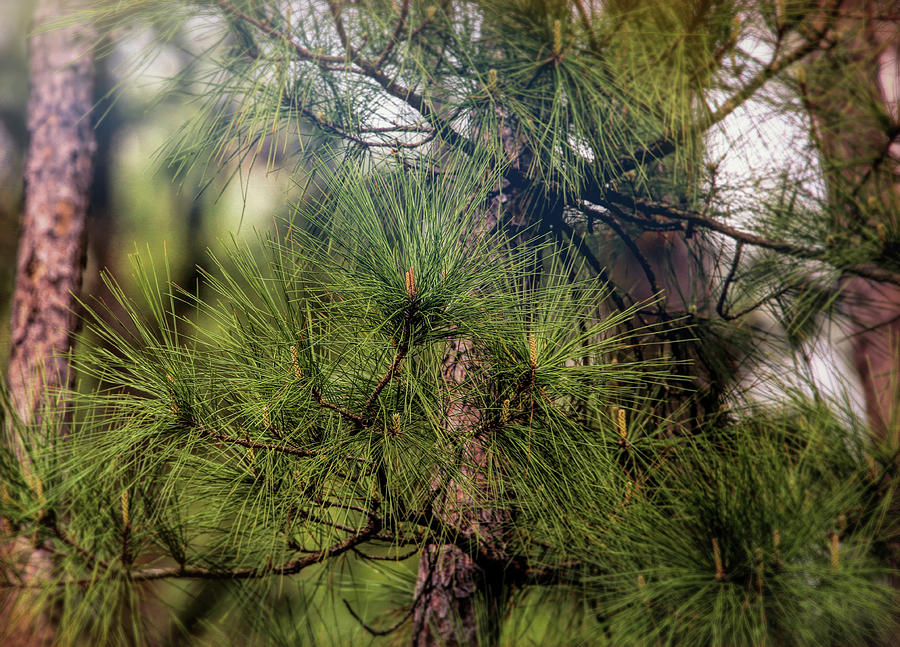 Pine Tree In Spring Photograph
