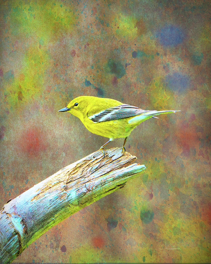 Pine Warbler 2 Photograph