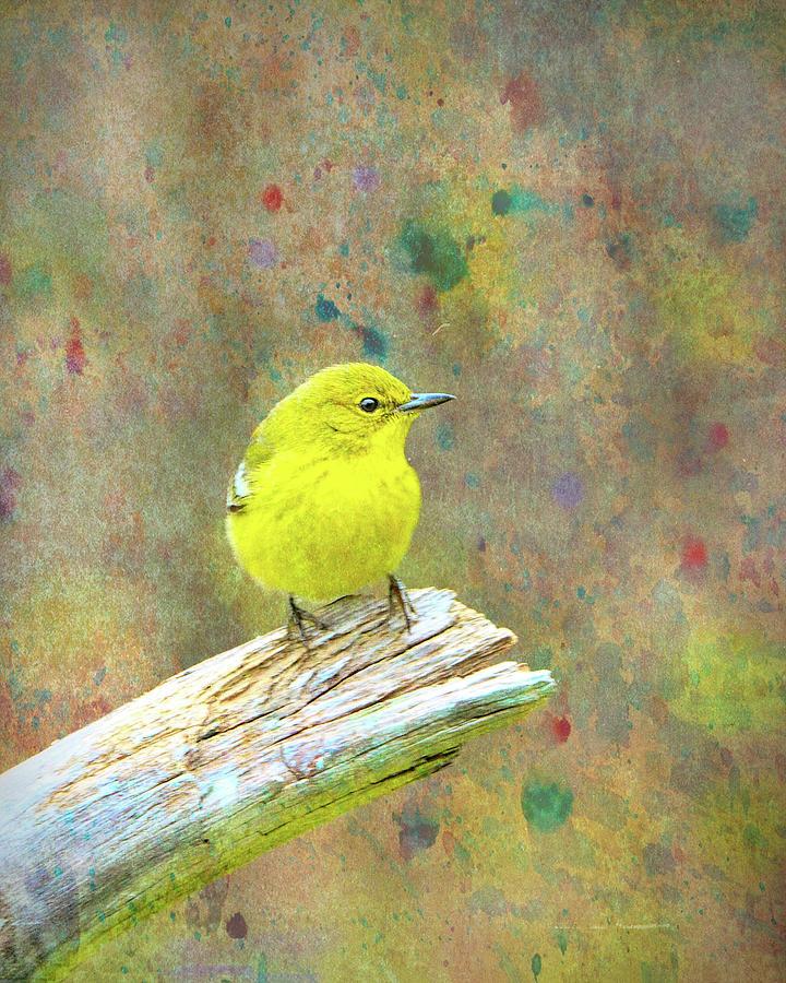 Pine Warbler, Cb Photograph