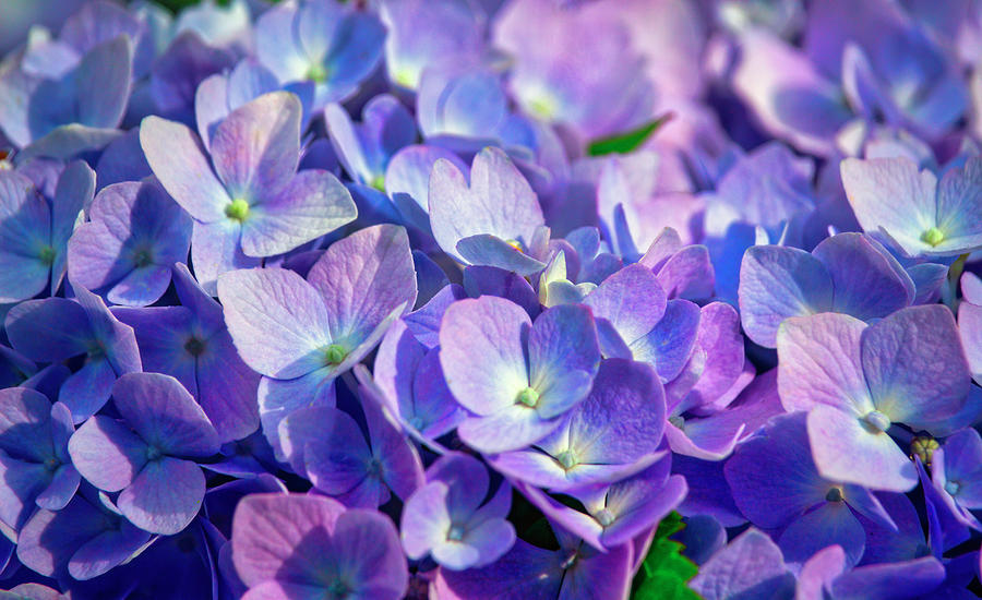 Pink And Blue Hydrangea Flowers Photograph