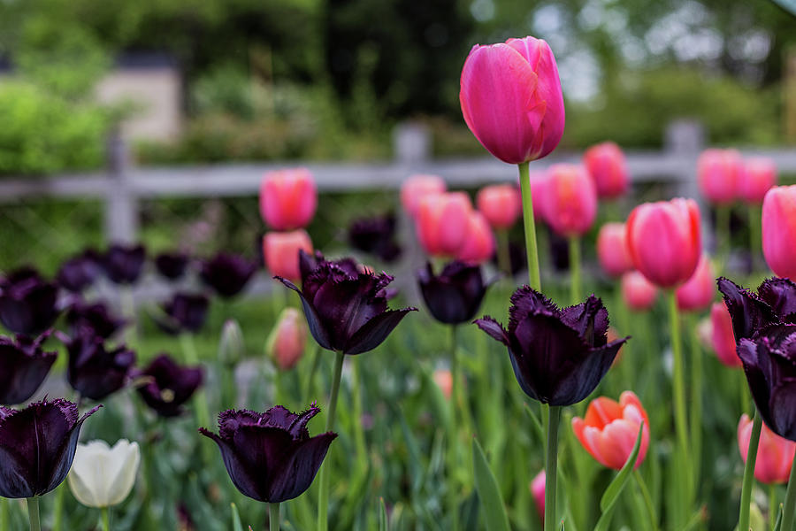 Pink And Purple Sprenger Tulips Photograph