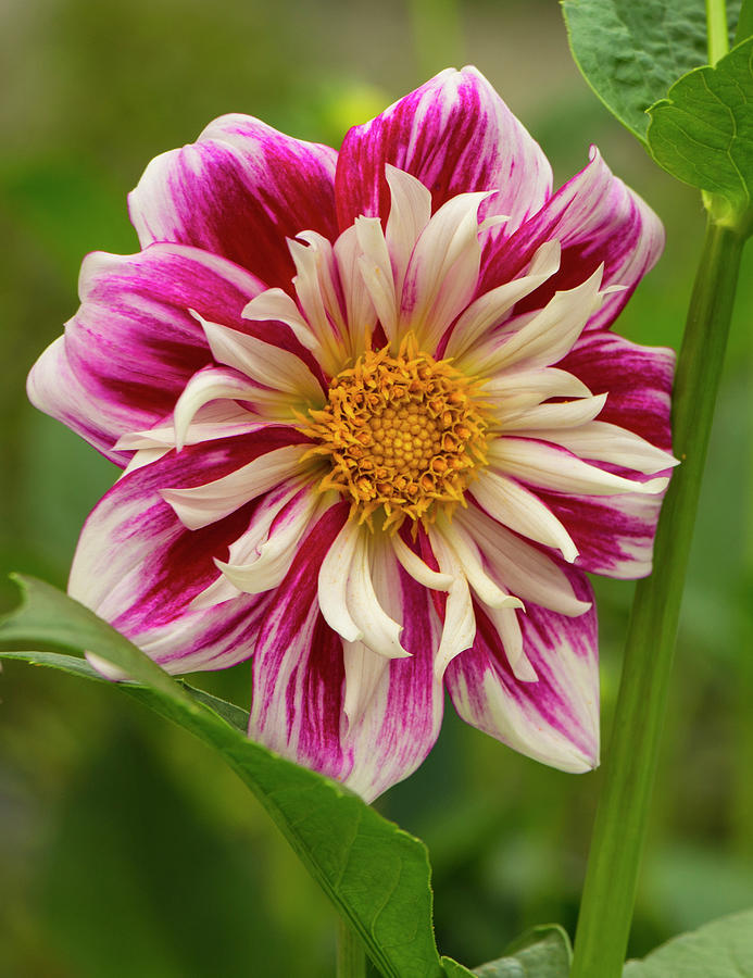 Dahlia Photograph - Pink and White Dahlia by Venetia Featherstone-Witty