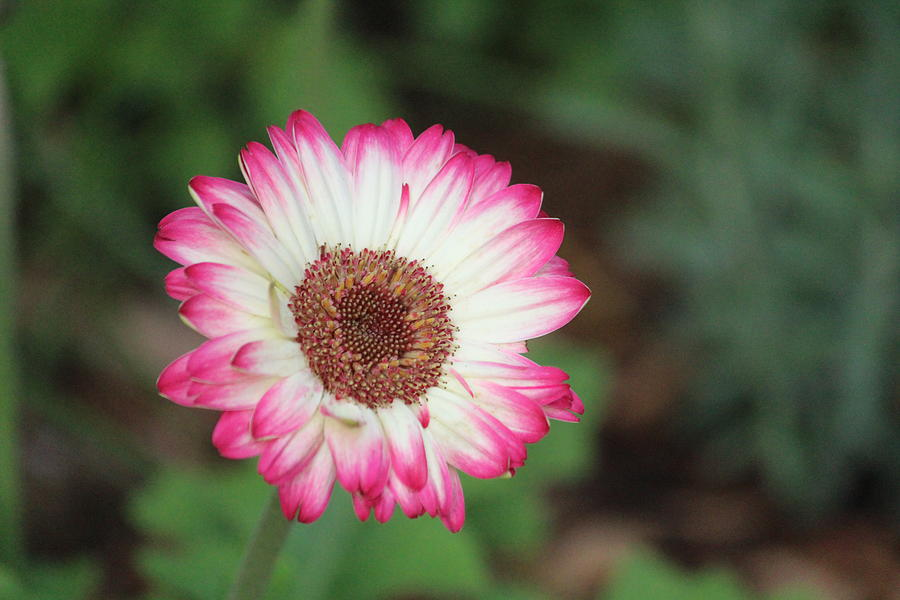 Garden Flower Photograph - Pink And White Flower by Callen Harty