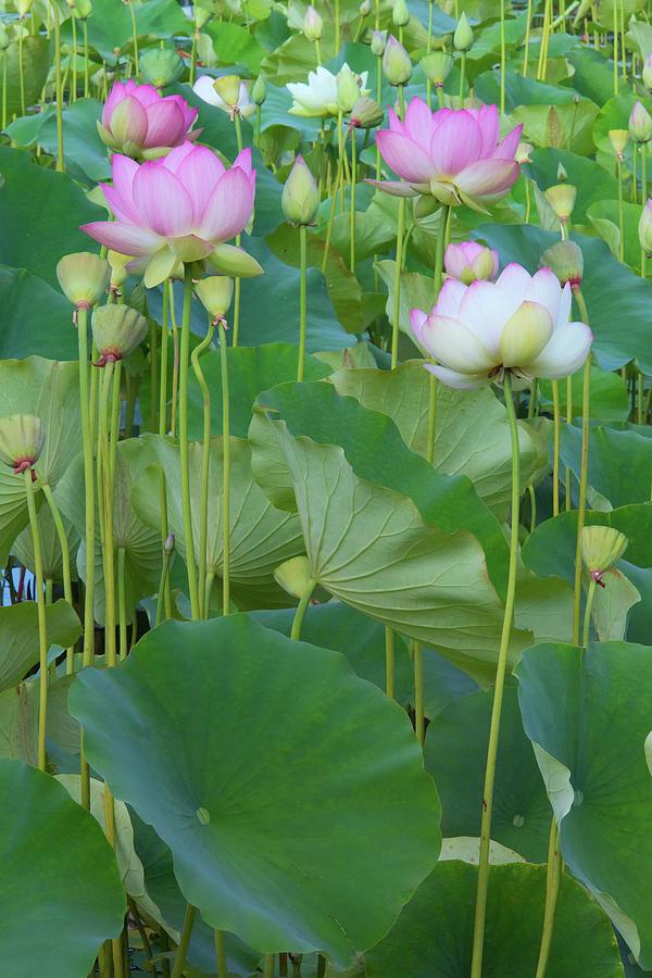 Lotus Flowers Photograph