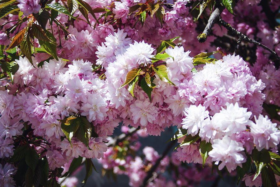 Pink And White Spring Flowers Photograph