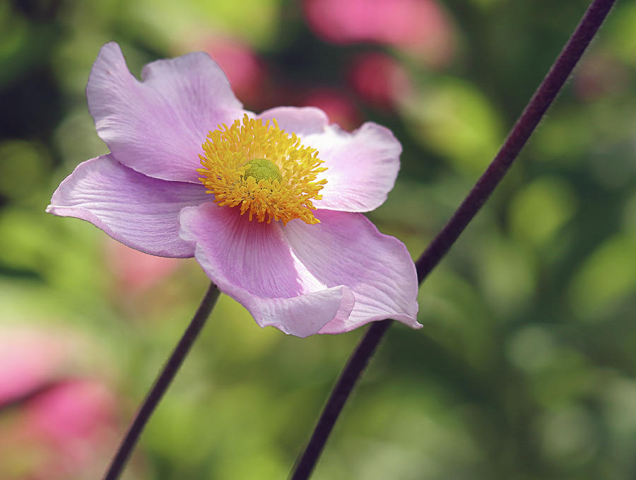 Anemone Photograph - Pink Anemone by Maria Meester