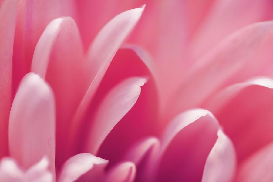 Pink Bloom II by Anne Leven