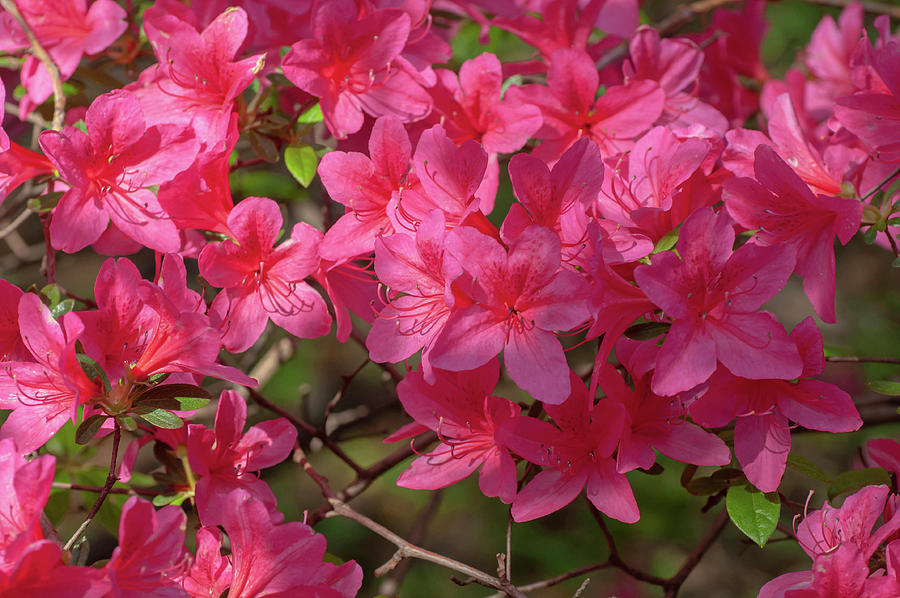 Pink Blooms Of Azalea Japonica Photograph