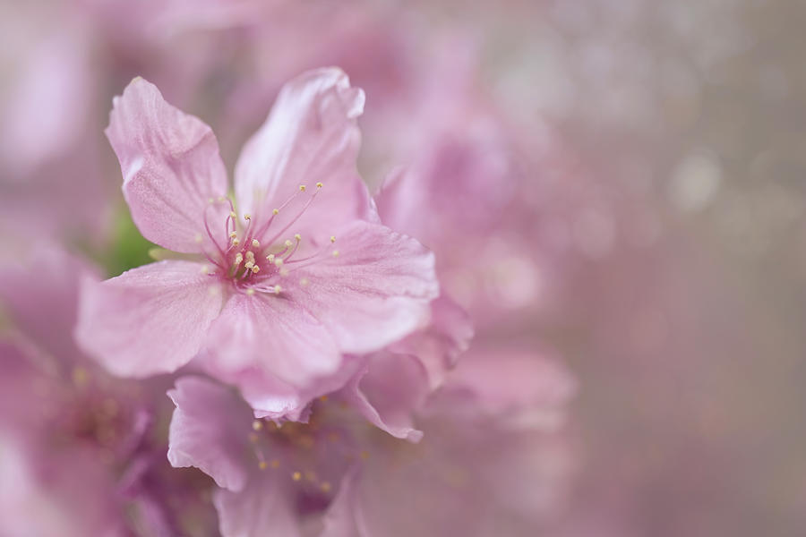 Pink Blossoms Photograph