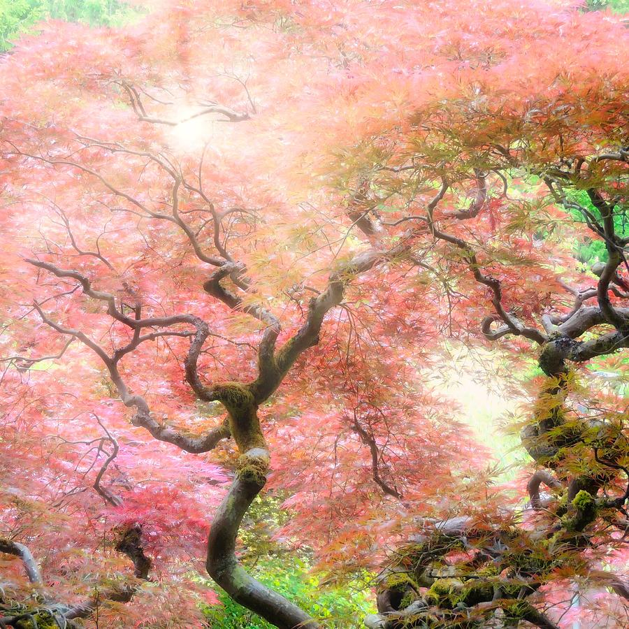 Japanese Maple Photograph - Pink Dawn by Cindy Keen