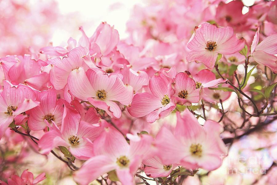 Pink Dogwood Flowers Photograph