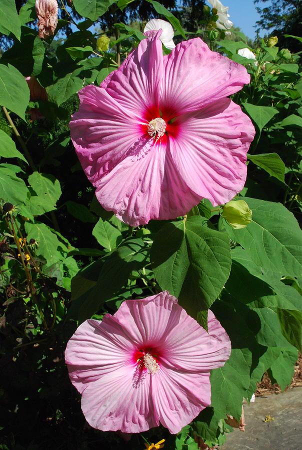 Pink Dual Hibiscus Photograph