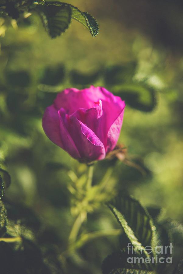 Pink Garden Rose Photograph
